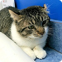 Domestic Shorthair Cat for adoption in Fairfax, Virginia - Crinkle