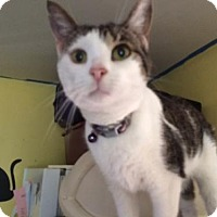 Domestic Shorthair Cat for adoption in Devon, Pennsylvania - Penny