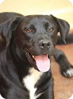 Boxer/Labrador Retriever Mix Dog for adoption in Hudson, New Hampshire - Quincy Park Boy