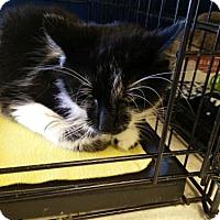 Adopt A Pet :: BamBam - Avon, OH