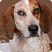 Redtick Coonhound Mix Dog for adoption in Cincinnati, Ohio - Amos