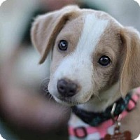 Adopt A Pet :: Annie - Centreville, VA