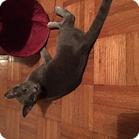 Russian Blue Kitten for adoption in San Antonio, Texas - Moscow