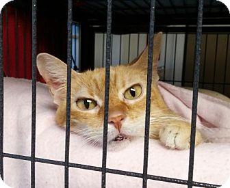 Domestic Shorthair Cat for adoption in Templeton, Massachusetts - Westie
