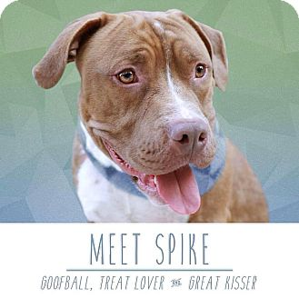 American Staffordshire Terrier Mix Dog for adoption in Grand Rapids, Michigan - Spike