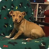 Adopt A Pet :: Latte - Washington, DC