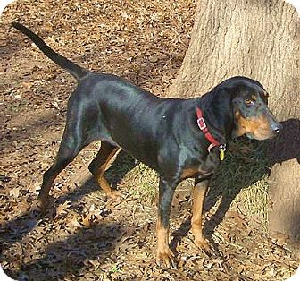 Black and Tan Coonhound Dog for adoption in Dallas, Texas - Xanadu