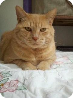 Domestic Shorthair Cat for adoption in Richboro, Pennsylvania - Peanut