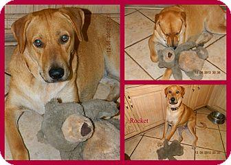 Labrador Retriever Mix Dog for adoption in hollywood, Florida - rocket