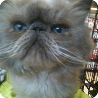 Himalayan Cat for adoption in Beverly Hills, California - Vinnie
