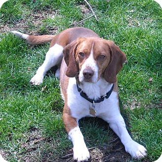Beagle Dog for adoption in Novi, Michigan - Superstar