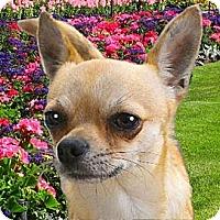 Adopt A Pet :: MuNcHkIn - Kokomo, IN