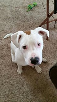 Pit Bull Terrier Mix Dog for adoption in Detroit, Michigan - Jughead