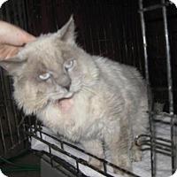 Ragdoll Cat for adoption in Glendale, Arizona - Noble Ben *FIV+*