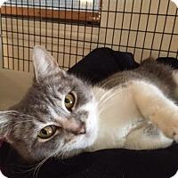 Adopt A Pet :: Meowla - Chicago, IL