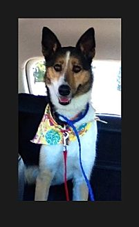 Collie Mix Dog for adoption in Trabuco Canyon, California - Bailey