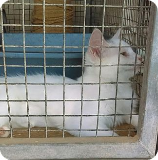 Domestic Mediumhair Kitten for adoption in Tonopah, Arizona - Snowball