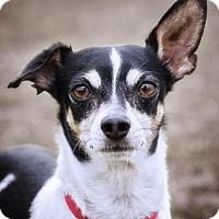 Chihuahua Mix Dog for adoption in El Cajon, California - Jesse