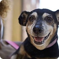 Chihuahua Mix Dog for adoption in Brooklyn, New York - Caoba