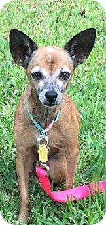 Chihuahua Mix Dog for adoption in Homestead, Florida - Biki