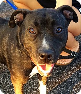 American Staffordshire Terrier/Terrier (Unknown Type, Medium) Mix Dog for adoption in Leesburg, Virginia - Zoey