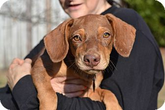 Doberman Pinscher/Hound (Unknown Type) Mix Puppy for adoption in Acworth, Georgia - Lemon - Cake Litter