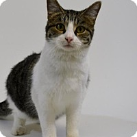 Domestic Shorthair Cat for adoption in New Iberia, Louisiana - ZAHNE