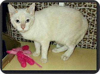 Siamese Cat for adoption in Gilbert, Arizona - Yani