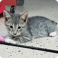 Domestic Shorthair Kitten for adoption in Boynton Beach, Florida - Ashley