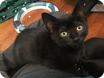 Domestic Shorthair Kitten for adoption in Greensburg, Pennsylvania - Sabrina