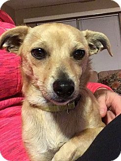 Chihuahua Mix Dog for adoption in Staten Island, New York - Bandit