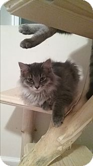Domestic Longhair Kitten for adoption in Cedar Springs, Michigan - Willow