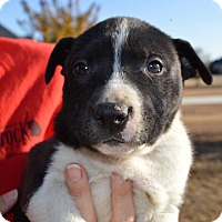 Boxer Mix Puppy for adoption in CRANSTON, Rhode Island - Aaron-ADOPTED