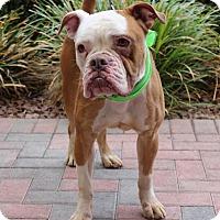 American Bulldog Mix Dog for adoption in Las Vegas, Nevada - SQUIDWARD