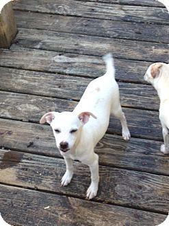 Chihuahua Puppy for adoption in Shannon, Georgia - Galahad