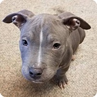 Adopt A Pet :: Chopper - Dallas, GA