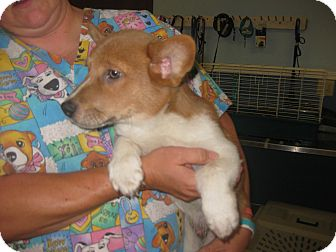Pembroke Welsh Corgi Mix Puppy for adoption in Inola, Oklahoma - Stark