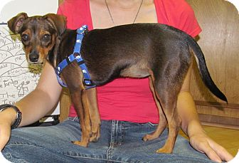 Dachshund/Miniature Pinscher Mix Puppy for adoption in Poway, California - Sookie