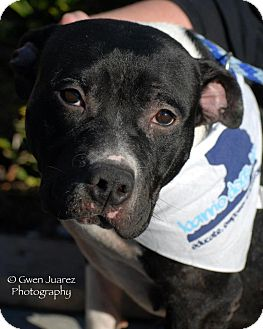 Staffordshire Bull Terrier Mix Dog for adoption in Houston, Texas - Tita