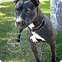 Adopt A Pet :: Ziva Miracle - Scottsdale, AZ