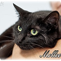 Domestic Shorthair Cat for adoption in Fort Mill, South Carolina - Mollee 4711
