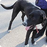 Adopt A Pet :: Jett - O'Fallon, MO