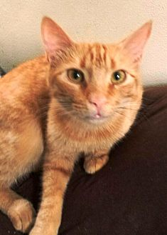 Egyptian Mau Cat for adoption in Cerritos, California - Rooney