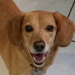 Photo 1 - Beagle Mix Dog for adoption in Richmond, Virginia - Dixie