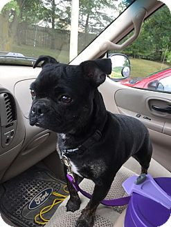 French Bulldog/Boston Terrier Mix Dog for adoption in Lucknow, Ontario - BUGSY- ** breed exp home only