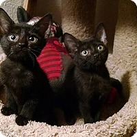 Domestic Shorthair Kitten for adoption in Tampa, Florida - Lily Durona