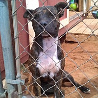 Staffordshire Bull Terrier Mix Dog for adoption in Denver City, Texas - Squeakers