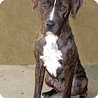 American Pit Bull Terrier/Labrador Retriever Mix Dog for adoption in Ruidoso, New Mexico - Bren