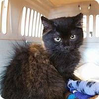 Domestic Mediumhair Kitten for adoption in Burlington, North Carolina - Prince George