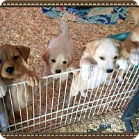 Adopt A Pet :: Lab/Terrier Pups - Granbury, TX